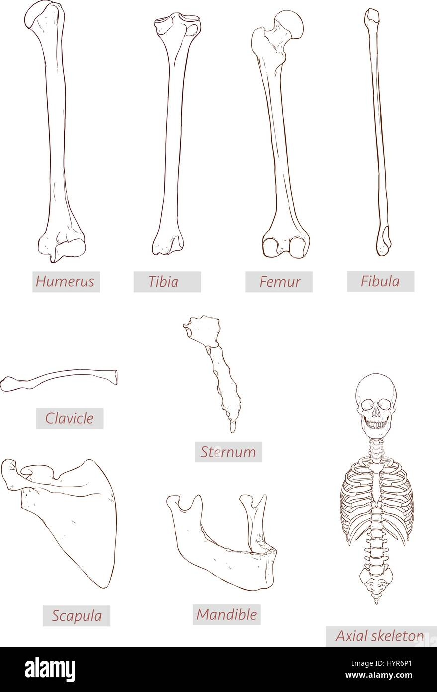 Humerustibiafemurfibulaclaviclesternumscapulamandibleaxial humerustibiafemurfibulaclaviclesternumscapulamandibleaxial skeleton detailed medical illustrations tin medical terms isolated on a white b pooptronica Gallery