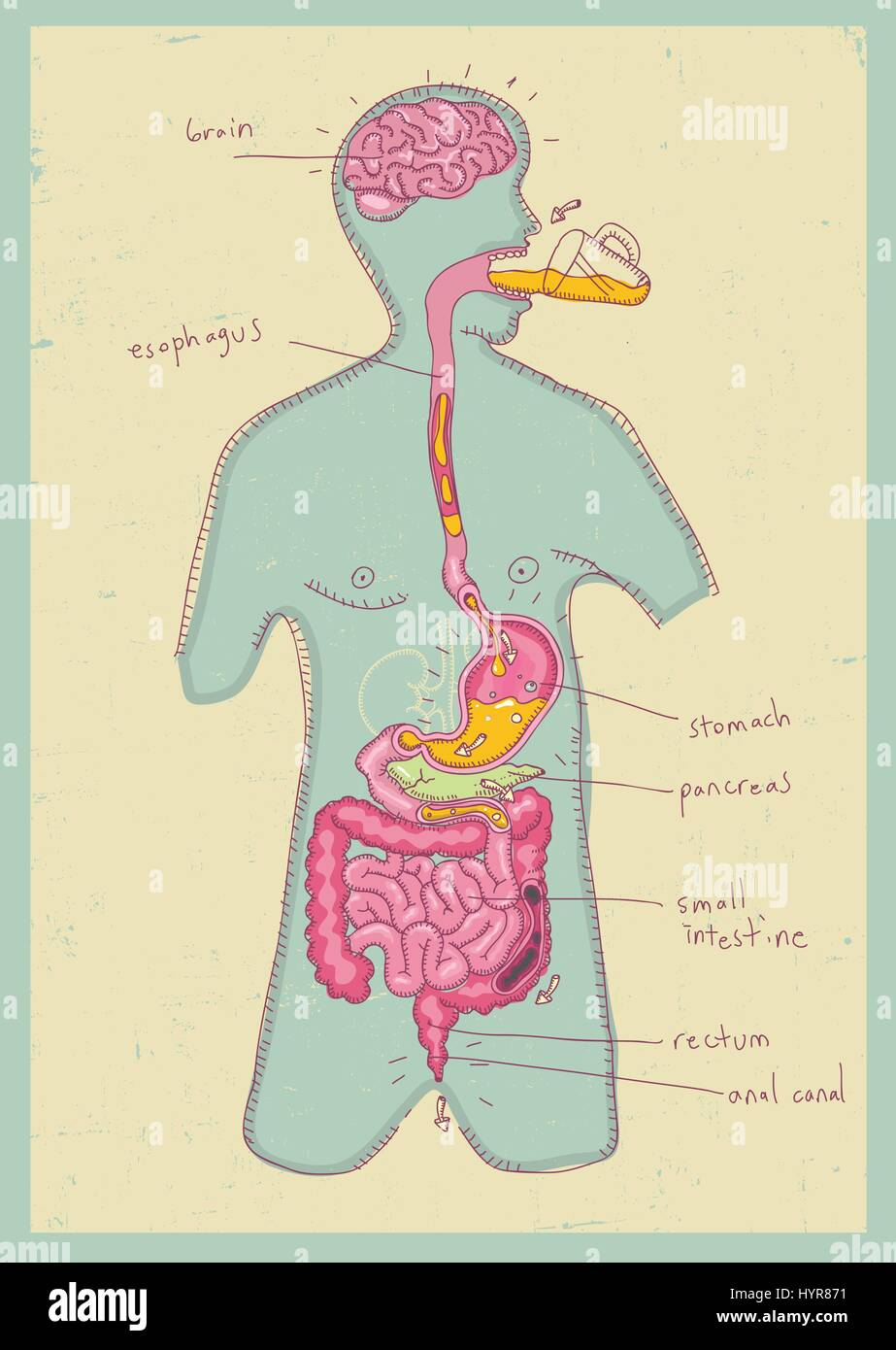 Vector Illustration Of Human Digestive System For Kids Manual Guide