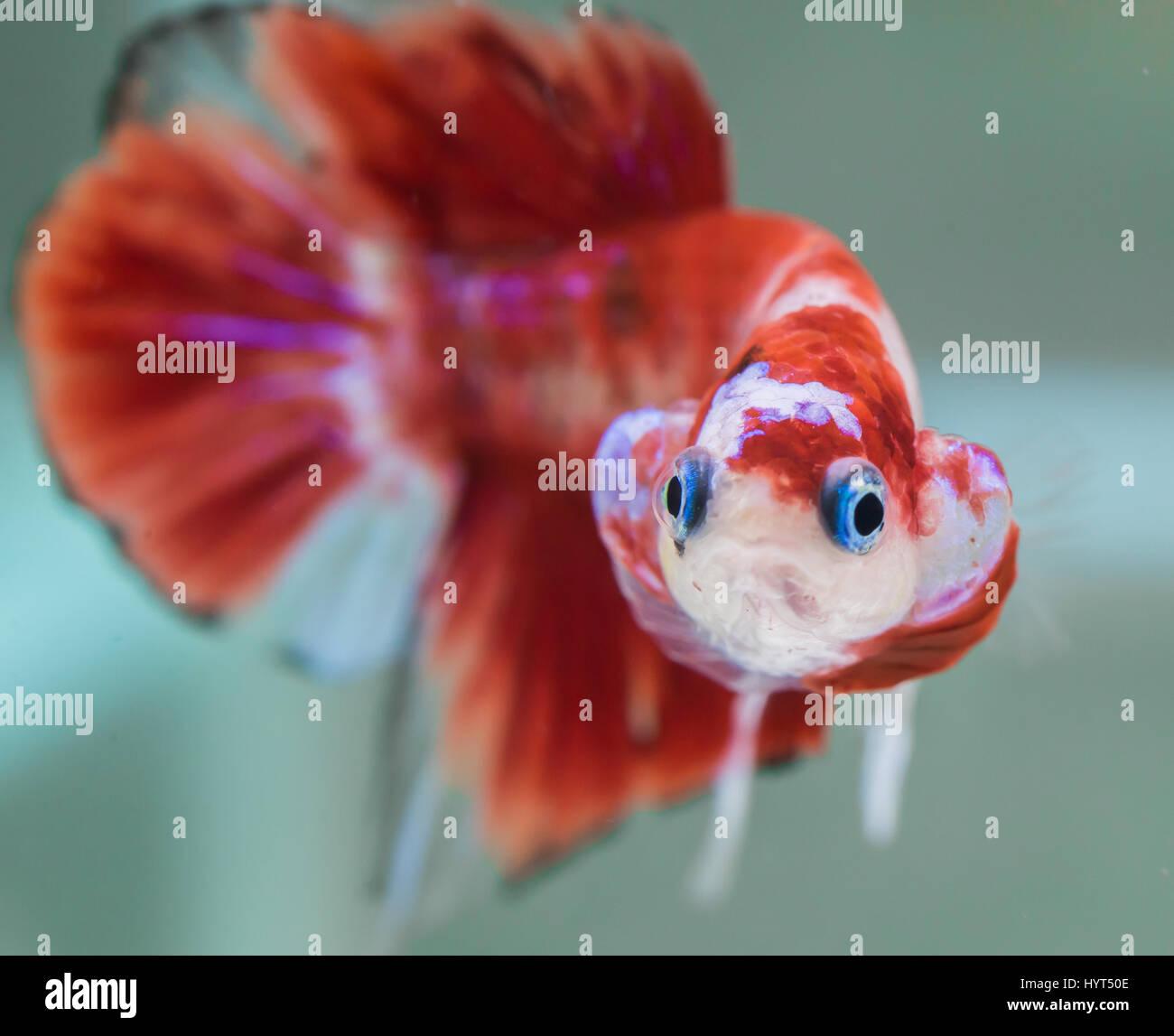 Flaring koi male hmpk betta splendens stock photo for Male koi fish