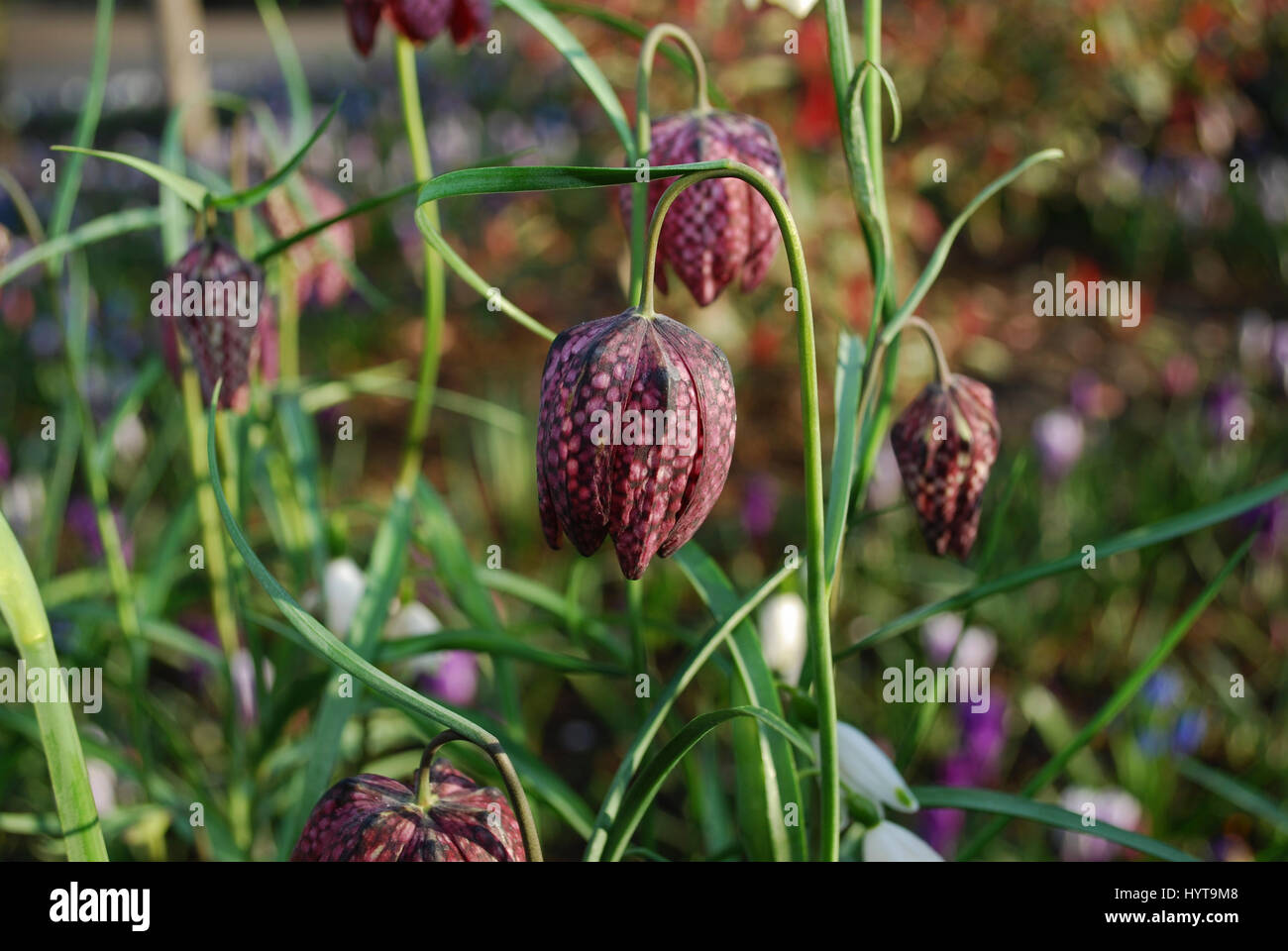 Snakes head Fritillaria meleagris chequered flowers are