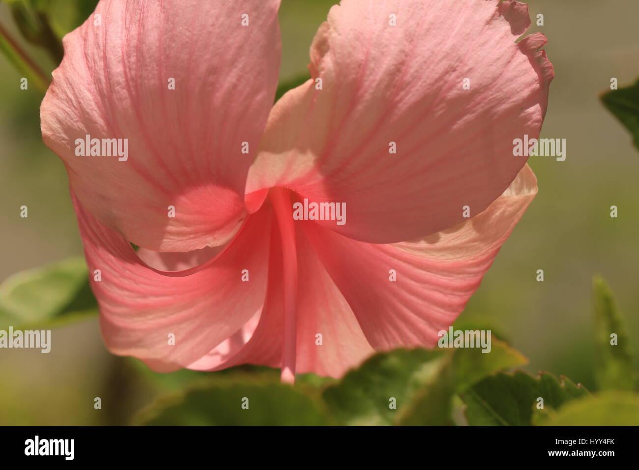Tropical pink hibiscus growing in jamaica stock photo 137664567 alamy tropical pink hibiscus growing in jamaica izmirmasajfo Choice Image