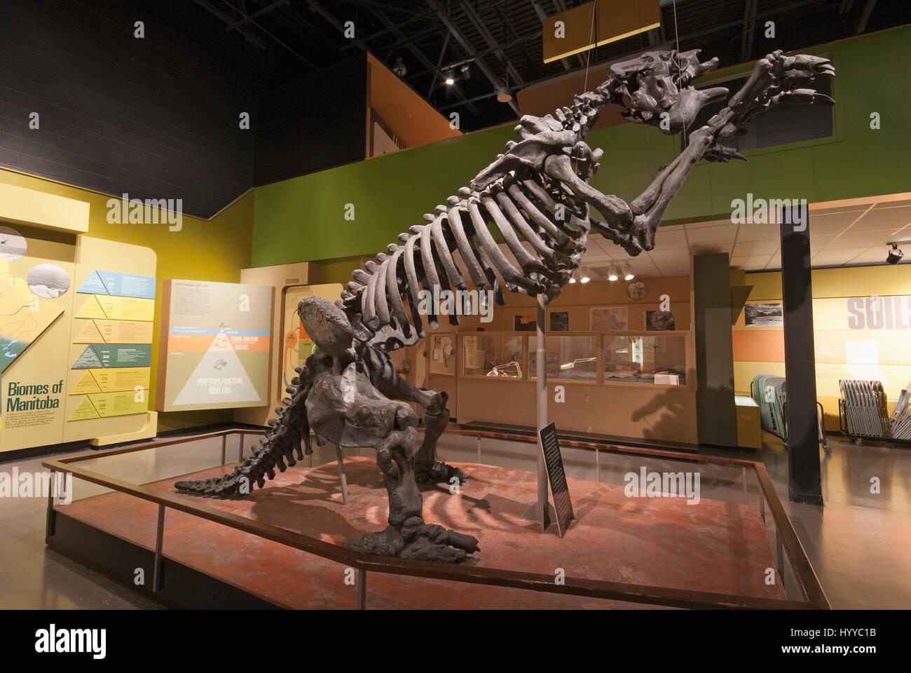 skeleton of megatherium a giant ground sloth manitoba museum winnipeg manitoba