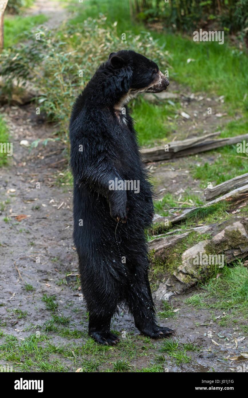 American black bear standing