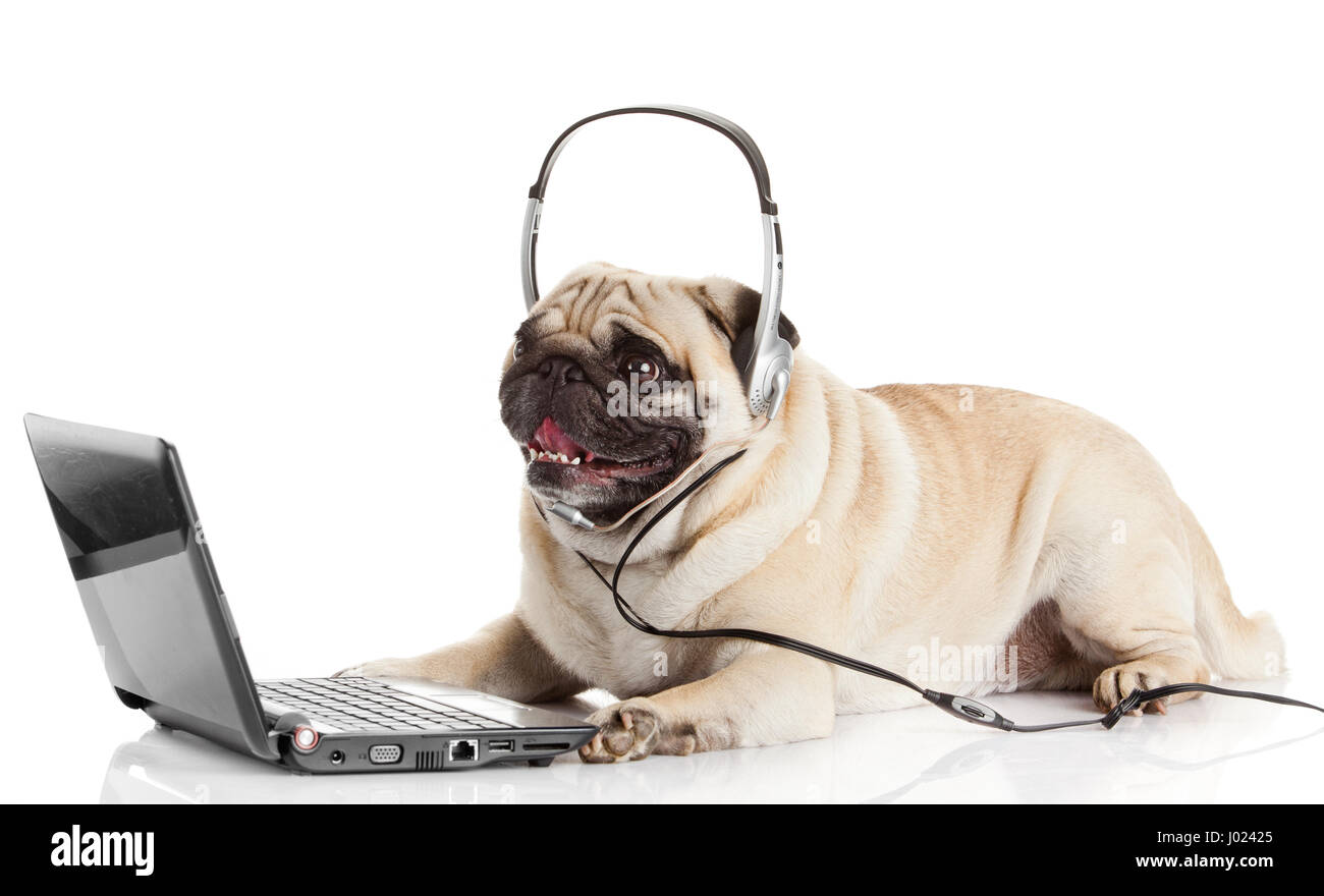 call center agent pug dog telephone operator stock photo royalty