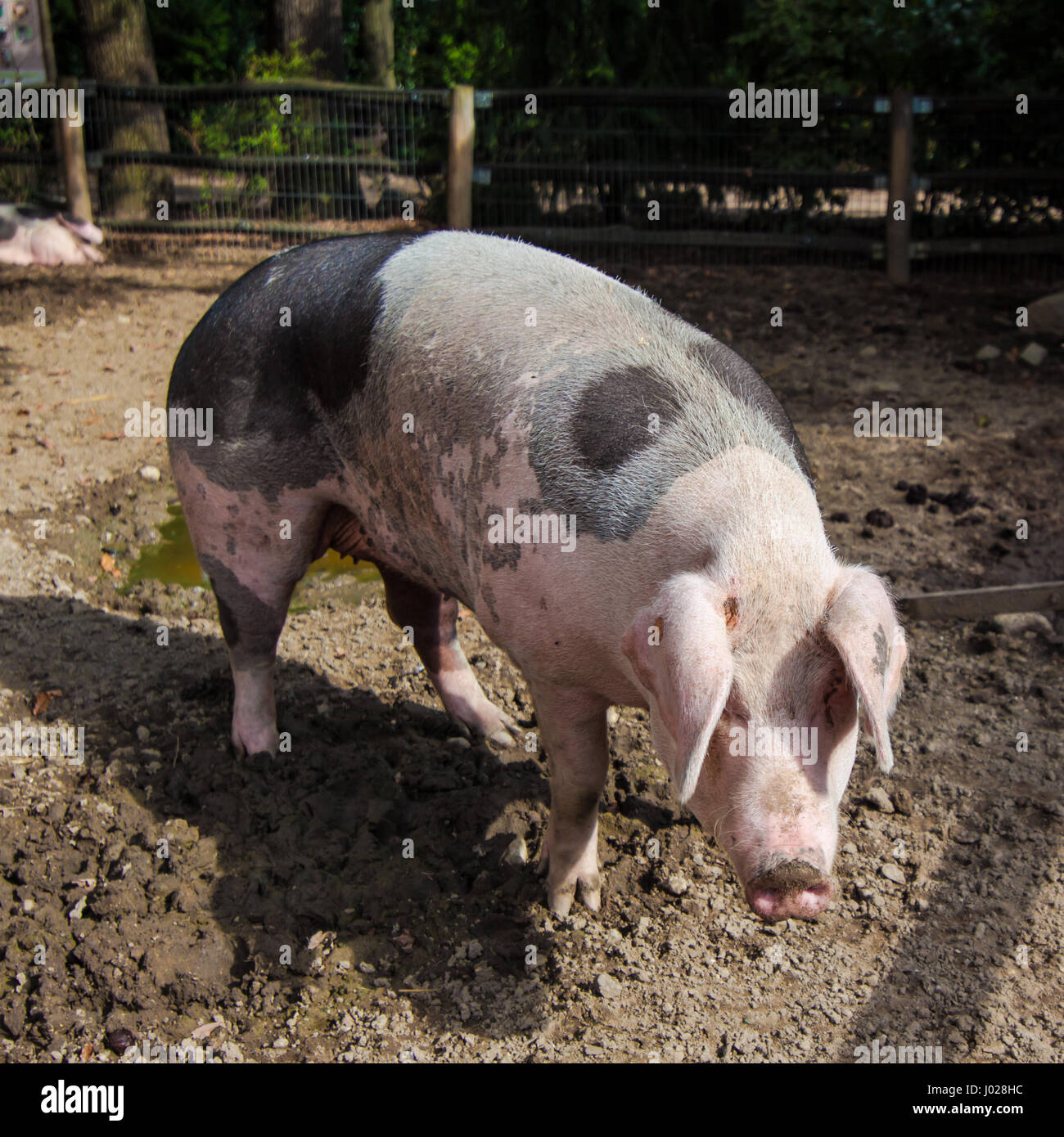 Big Pig Stock Photo, Royalty Free Image: 137733608