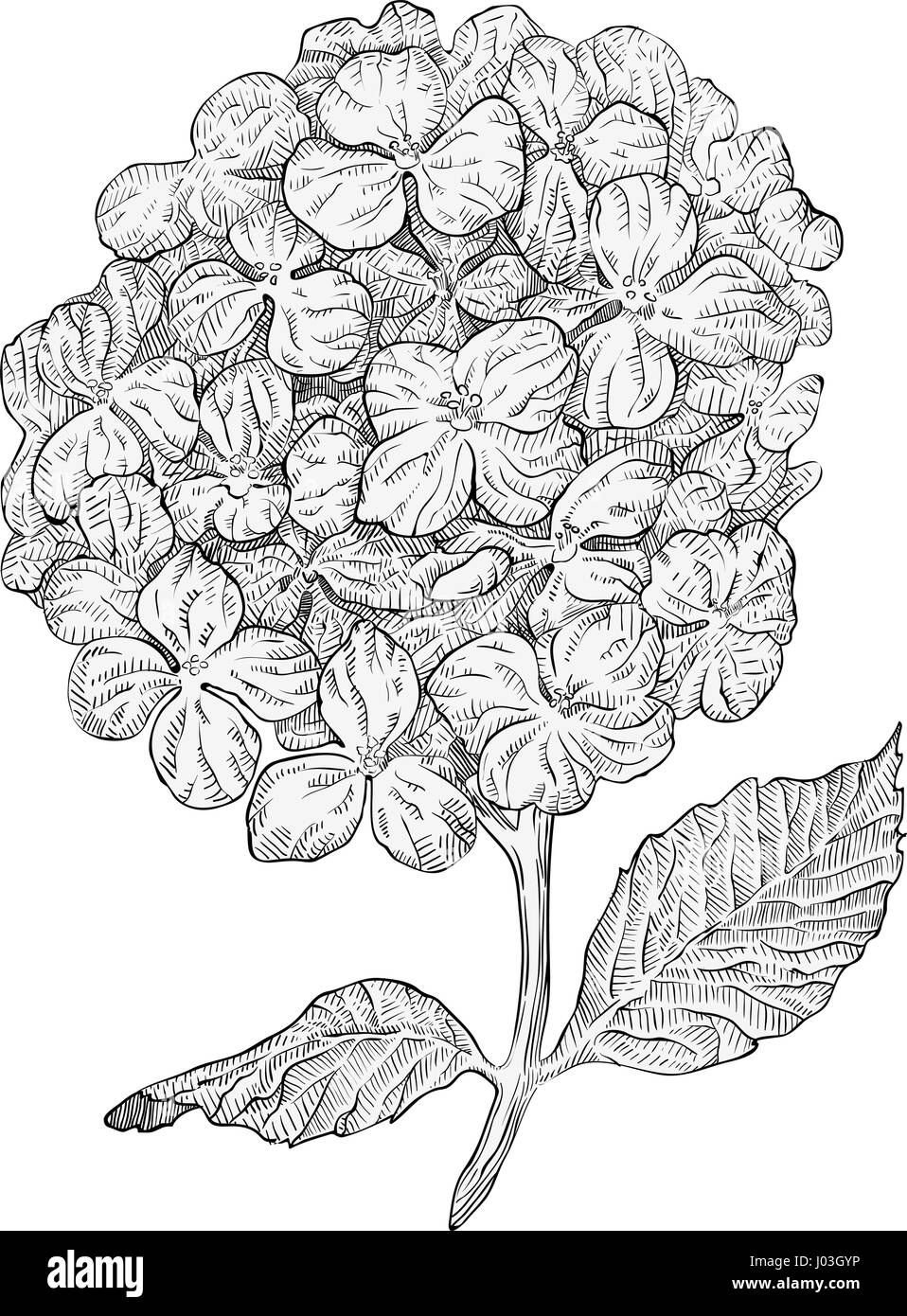 Hydrangea Flowers Isolated On White Background Hand Drawn Hatching Engraved  Drawing