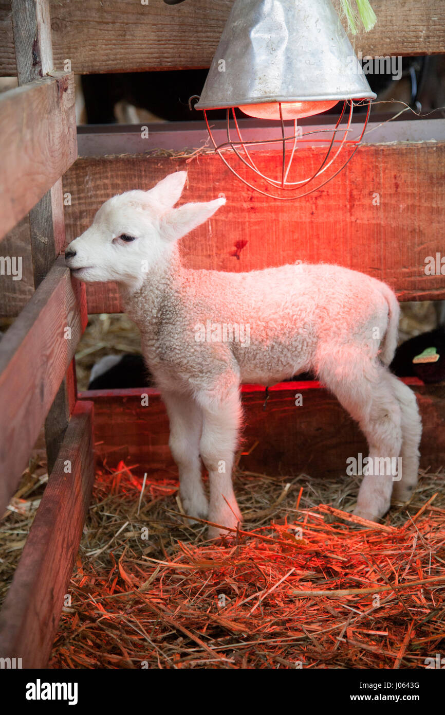 white lamb on straw under heat lamp in barn of organic farm in the ...
