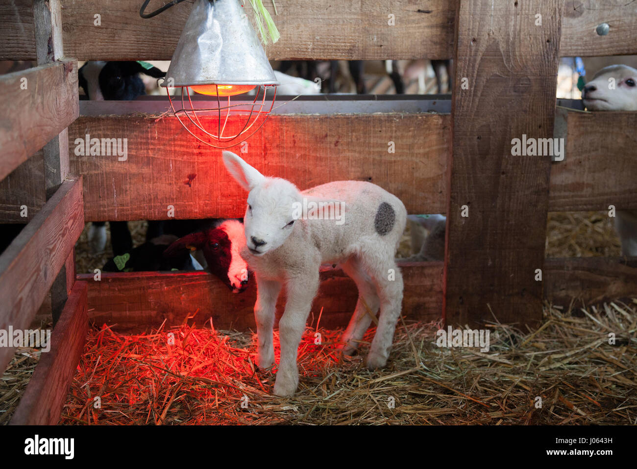 white lamb under heat lamp in barn of organic farm in holland with ...