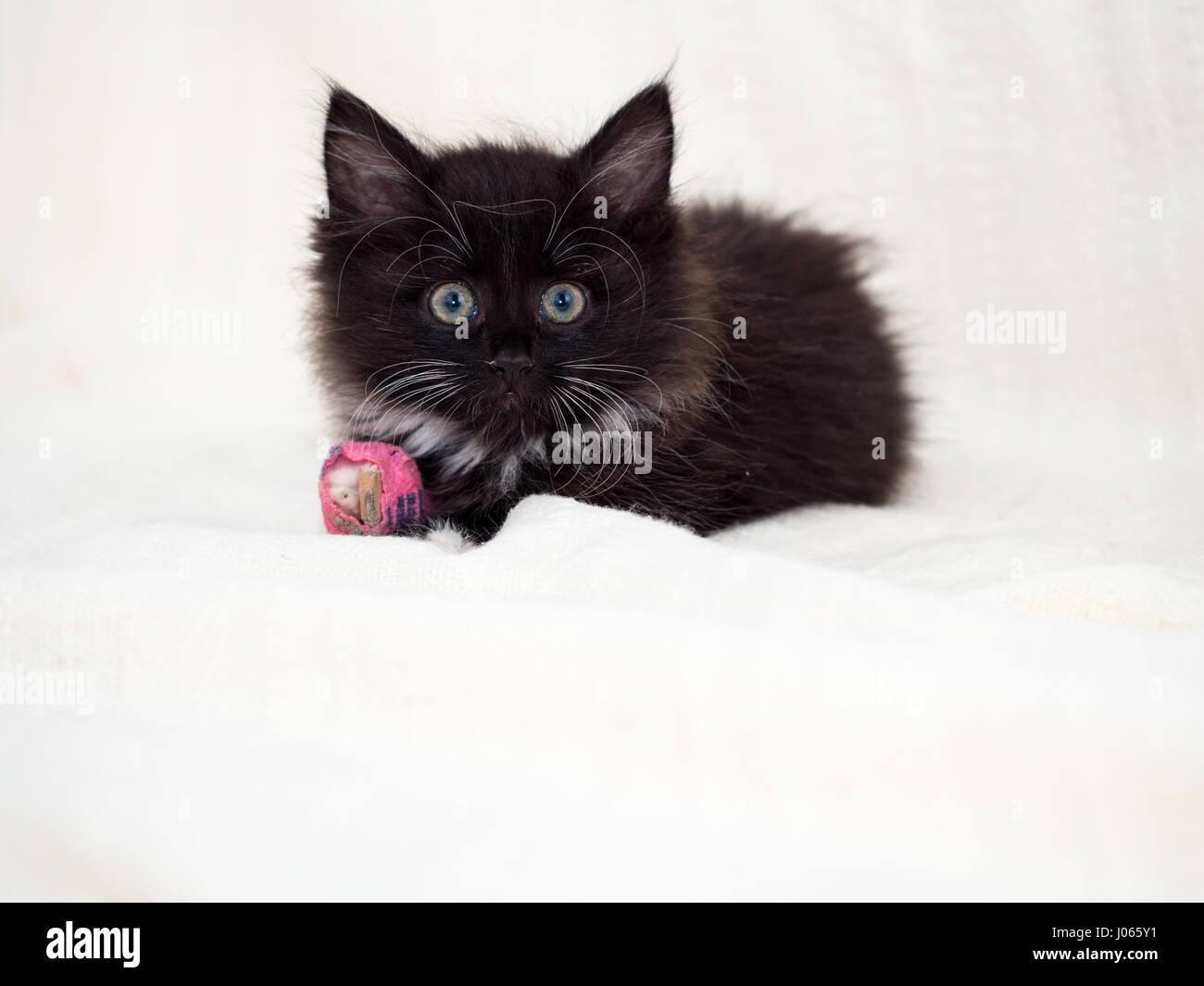 Cute black kitten with a bandaged paw Stock Royalty Free