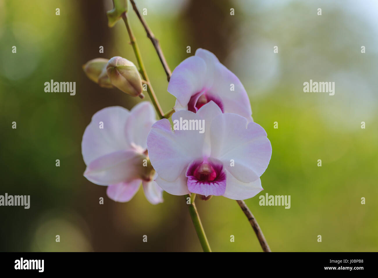 Streaked orchid flowers in garden beautiful orchid flowers stock streaked orchid flowers in garden beautiful orchid flowers izmirmasajfo