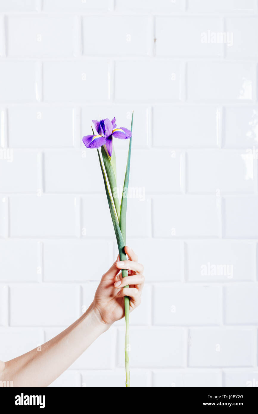 Purple Flower In Female Hand On A Background Of White Brick Wall Vertical Framing