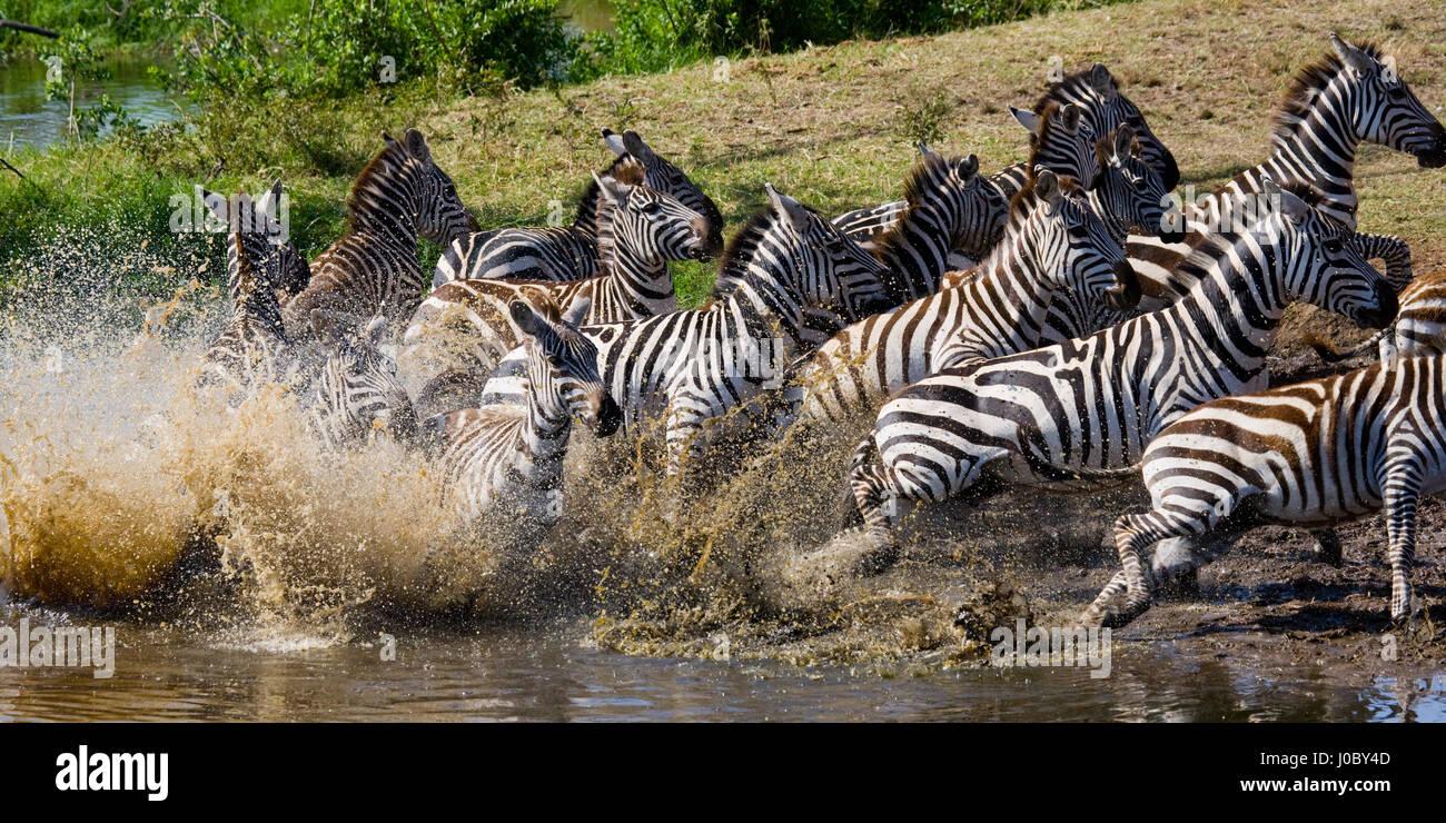Zebras Running Through Water Group of zebras runnin...
