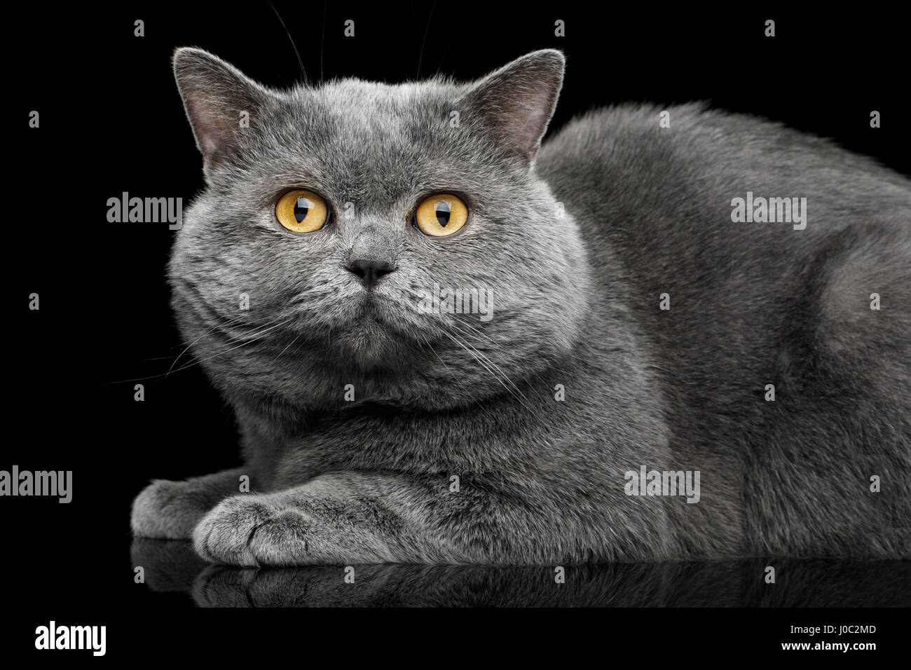 British shorthair grey cat with big wide face Lying on Isolated