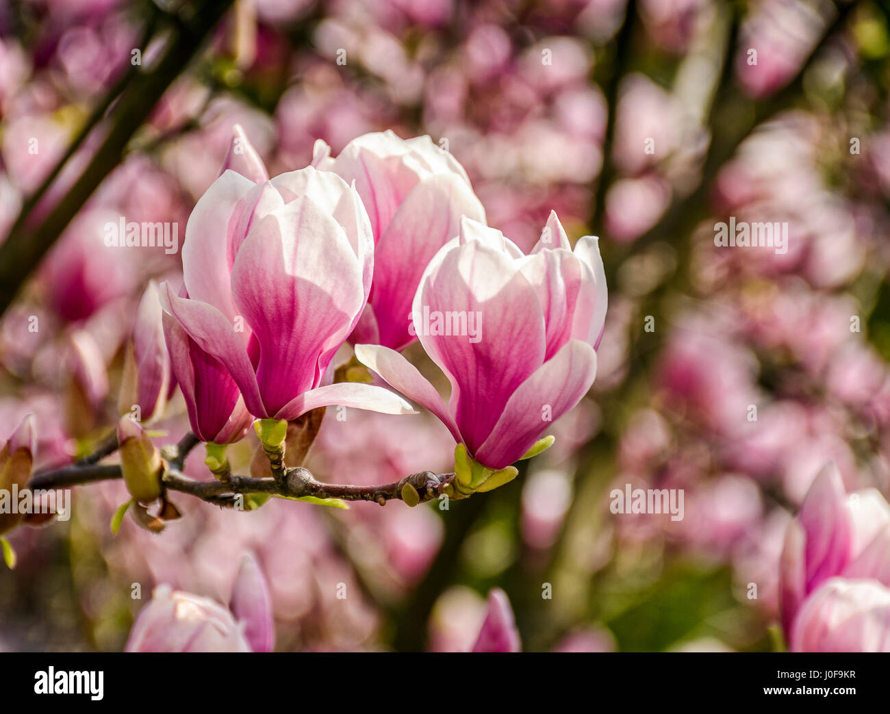 <b>Magnolia</b> Pink <b>Flowers</b> On Flowering <b>Magnolia</b> Stock Photo 402300151 ...