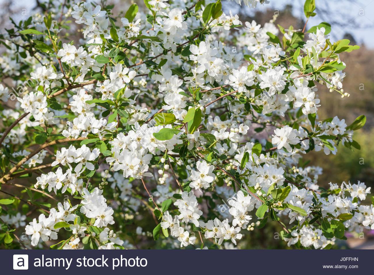 exochorda x macrantha 39 the bride 39 pearl bush flowering. Black Bedroom Furniture Sets. Home Design Ideas