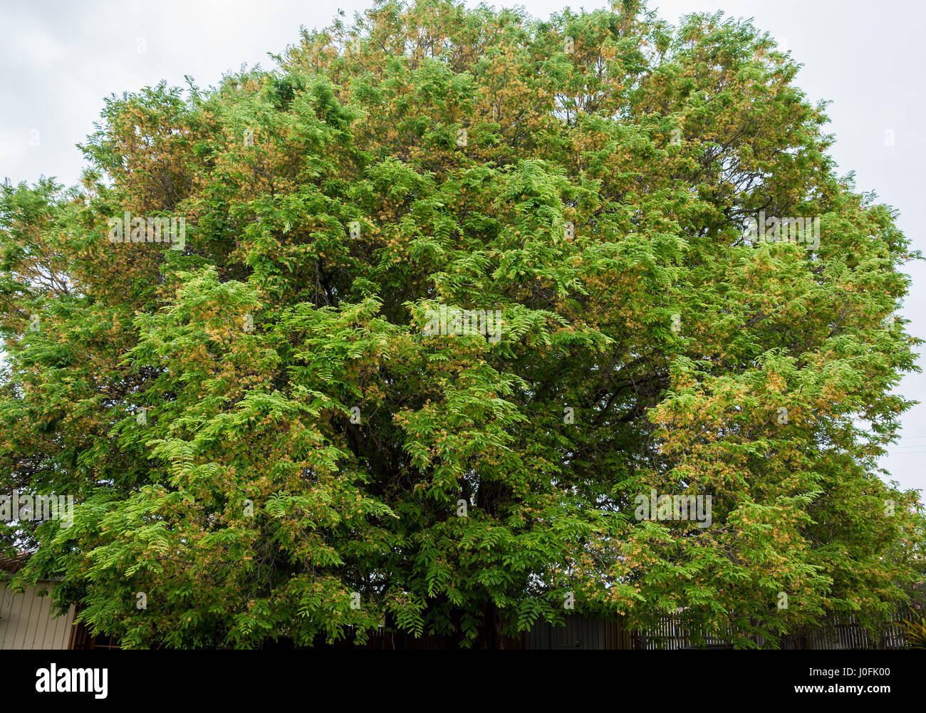 Large very old flowering tamarind tree, Tamarindus indica ...