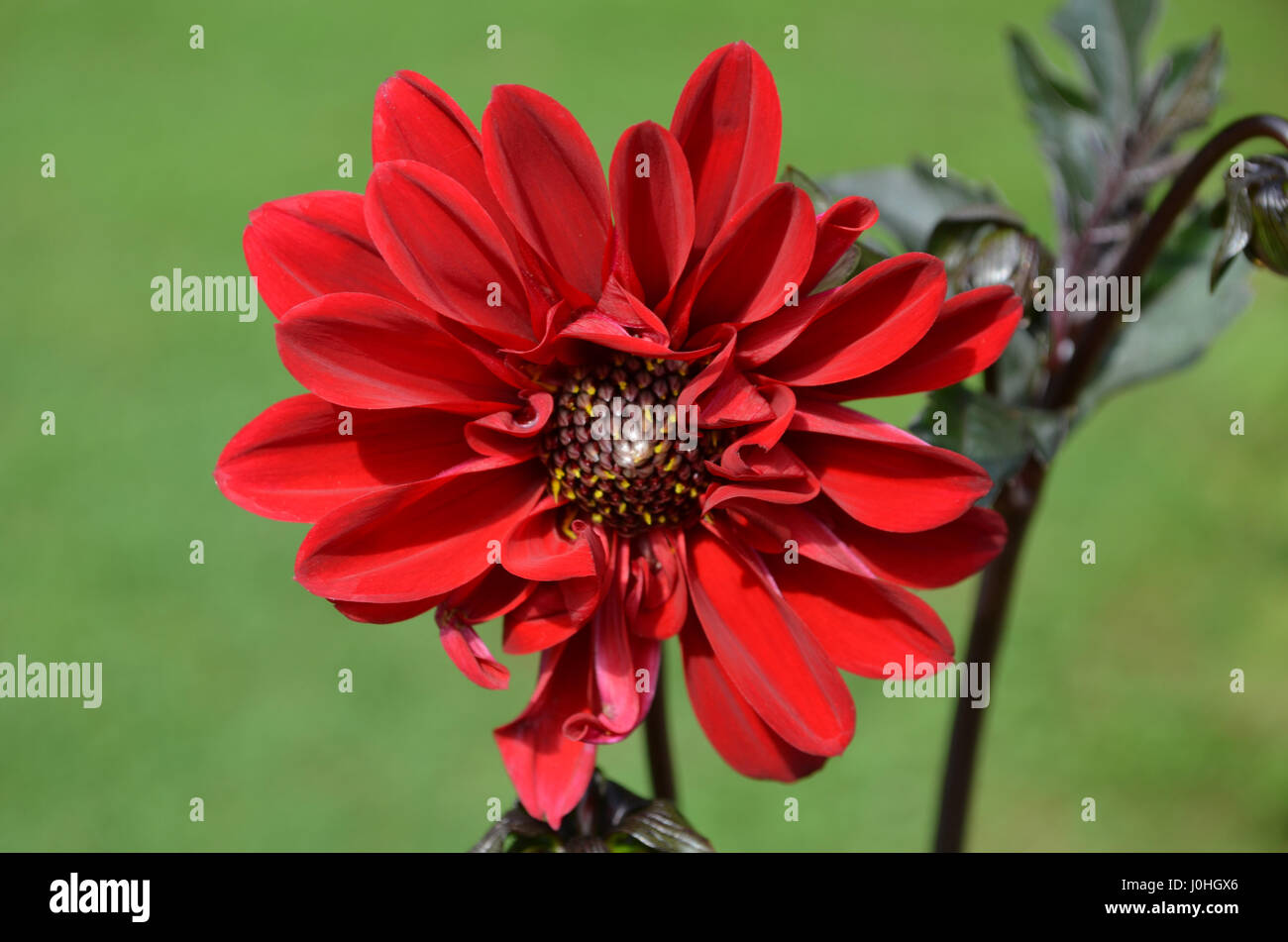 Gorgeous Red Dahlia Flower Blossom In A Garden Stock Photo Royalty