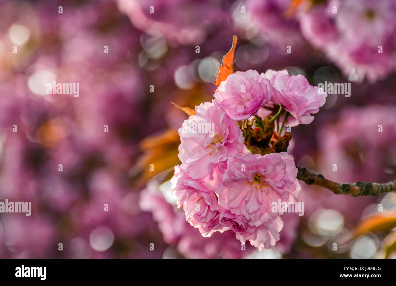 Beautiful spring background pink sakura flowers closeup on a stock photo beautiful spring background pink sakura flowers closeup on a branch blurred background of blossoming garden in springtime dhlflorist Images