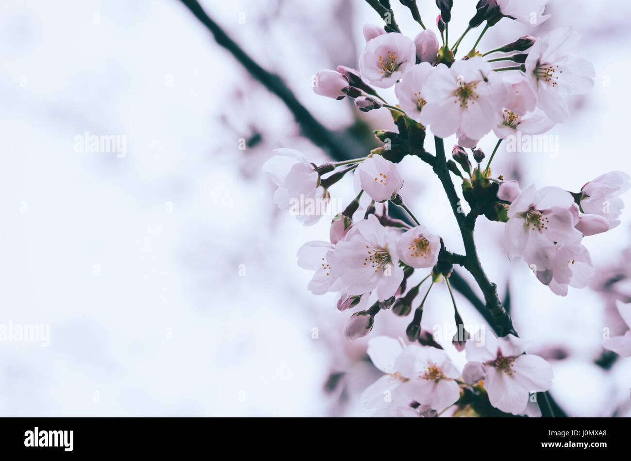 Pink sakura flower or cherry blossom soft and selective focus pink sakura flower or cherry blossom soft and selective focus dhlflorist Images