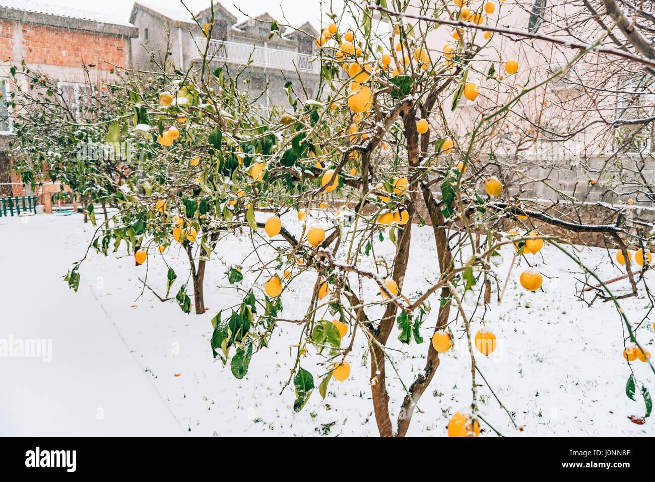 lemon garden in winter lemon tree with yellow lemons in the snow