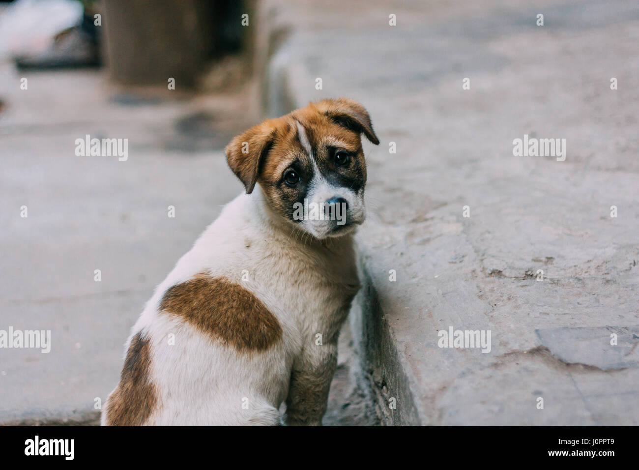 Sad white and brown stray dog standing on a road looking ...