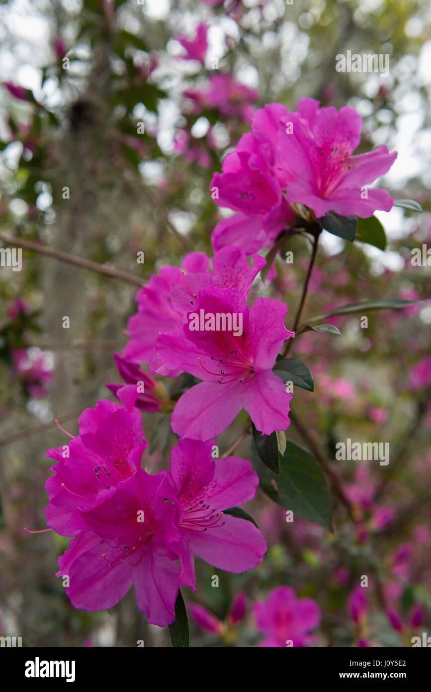Azalea Flowers Blooming In Savannah Georgia