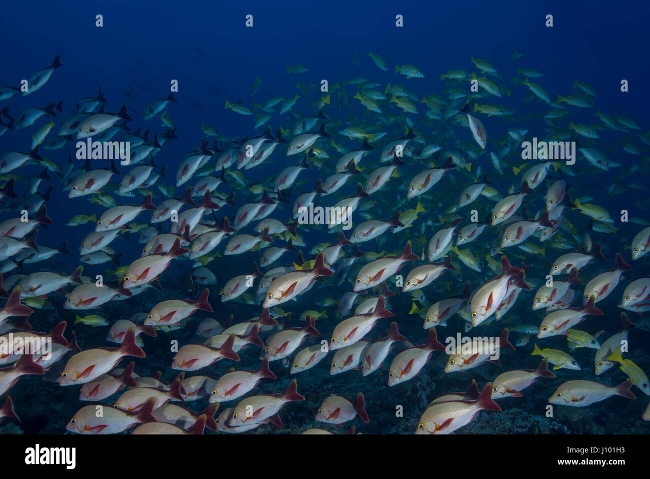 of fish humpback red snapper lutjanus gibbus in blue