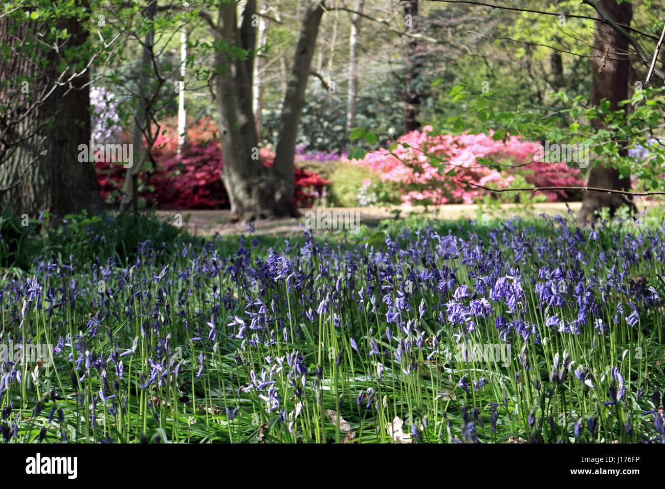 Isabella plantation richmond park london 18th april 2017 the vibrant colours of