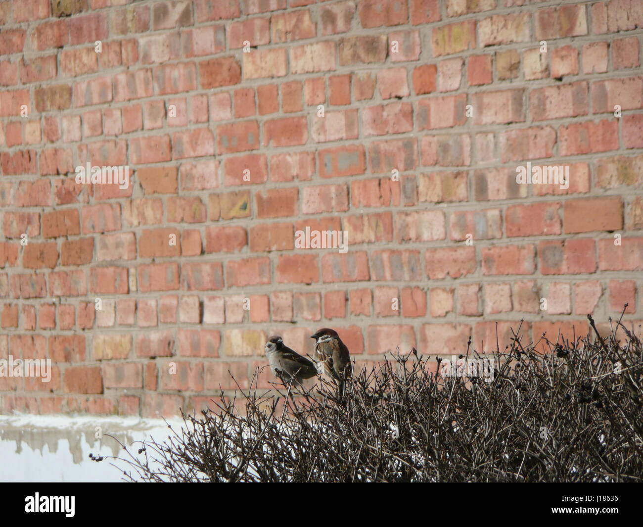 Two sparrows on a background of red brick wall in early spring stock two sparrows on a background of red brick wall in early spring thecheapjerseys Gallery