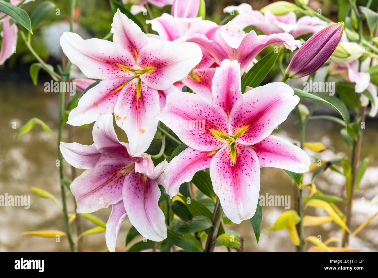 Garden flowers names - Beautiful Pink Lily In Garden Zephyranthes Flower Common Names For Species In This Genus