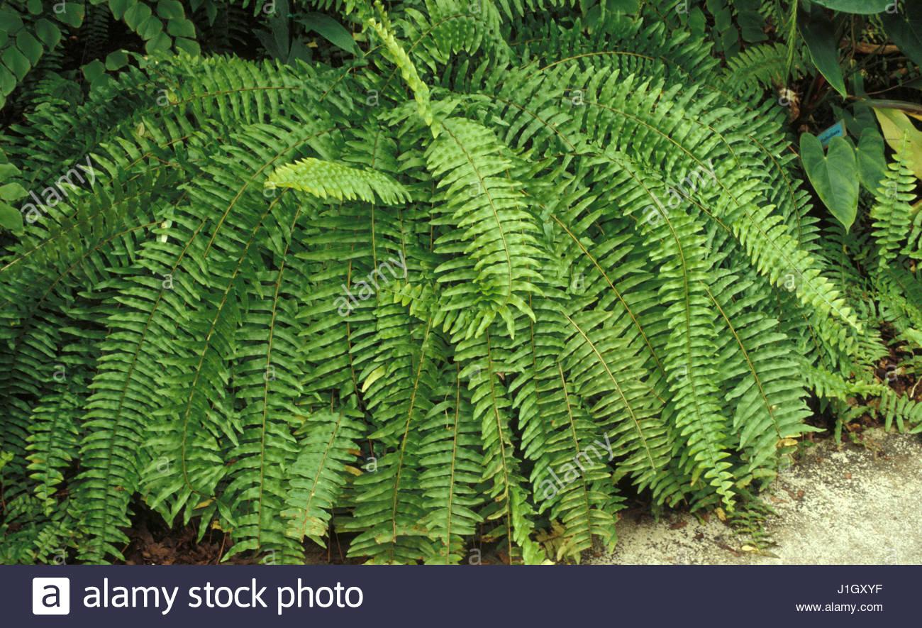 Nephrolepis exaltata stock photo 138669987 alamy - Nephrolepis exaltata ...