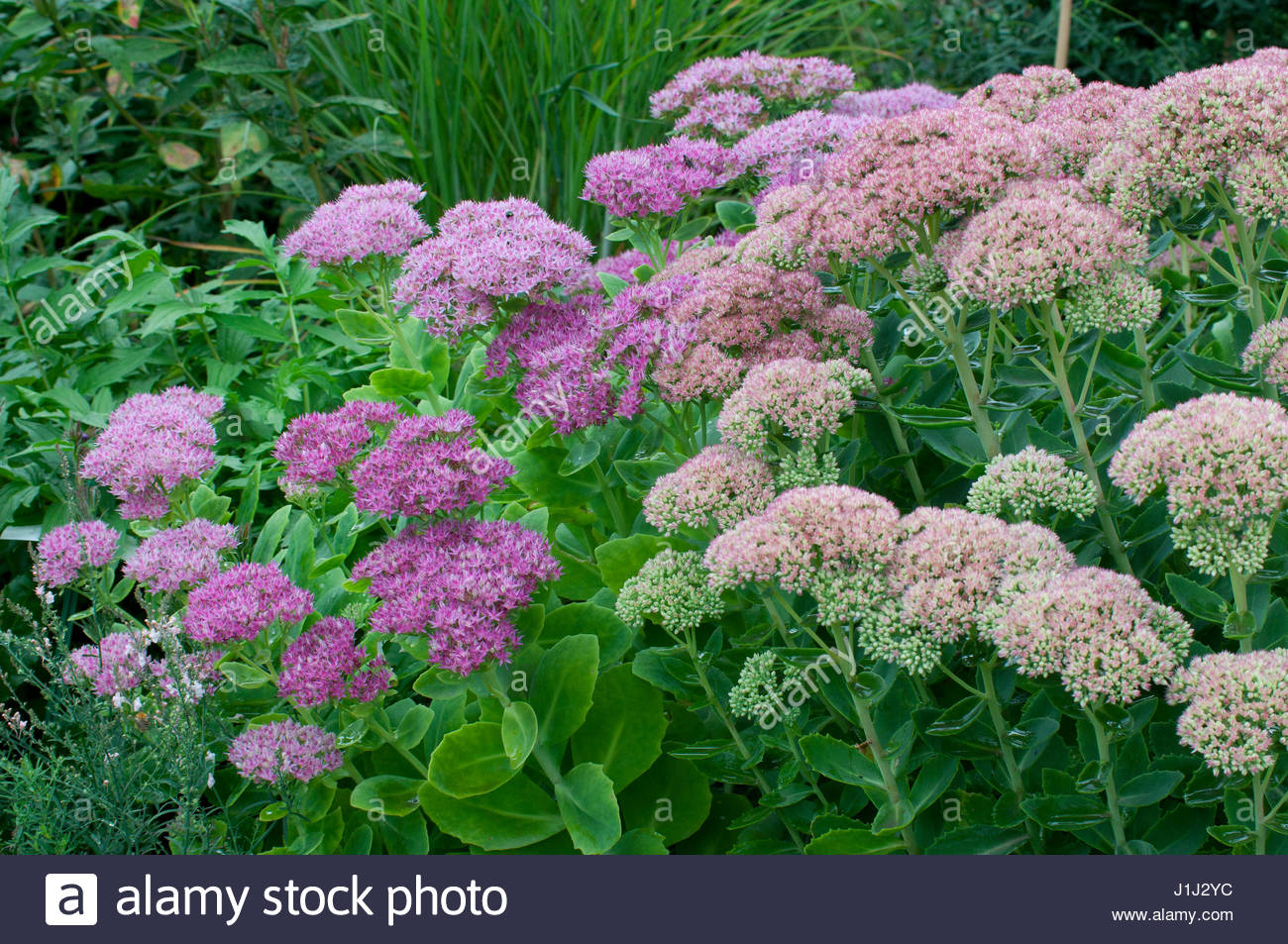 sedum spectabile x telephium 39 brilliant 39 orpin plante vivace stock photo 138695072 alamy. Black Bedroom Furniture Sets. Home Design Ideas