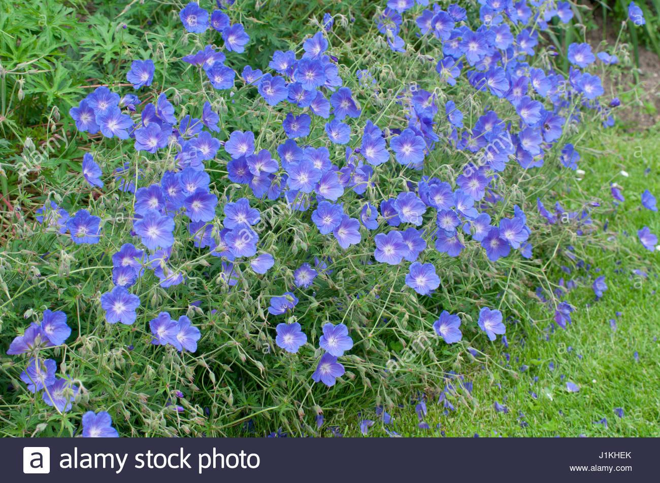 geranium vivace 39 orion 39 plante vivace stock photo royalty free image 138728427 alamy. Black Bedroom Furniture Sets. Home Design Ideas