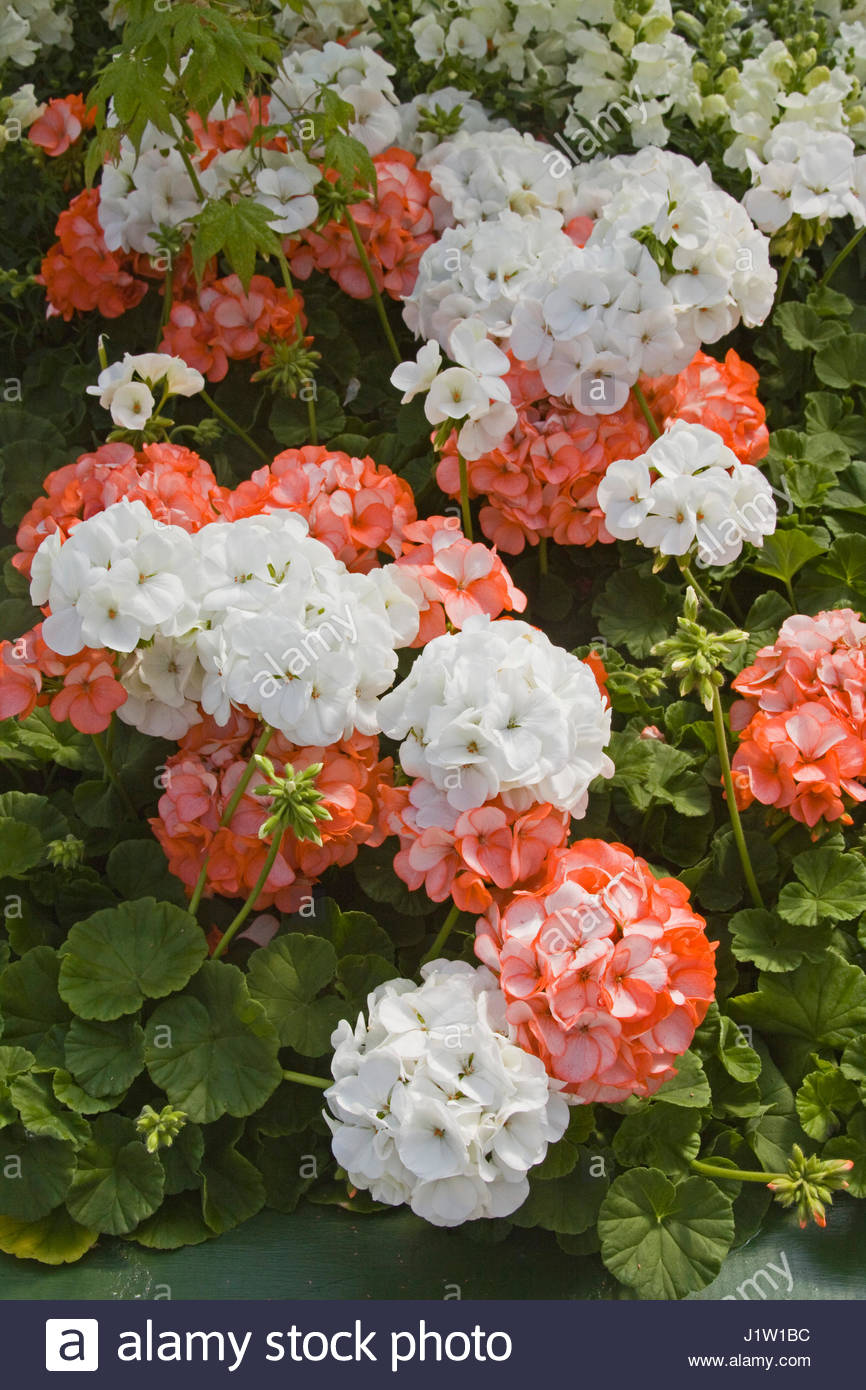 pelargonium x hortorum horizon orange ice and pelargonium