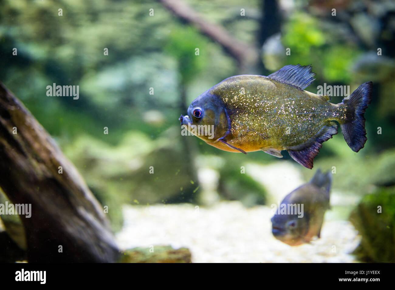 Freshwater aquarium fish piranha - Stock Photo Tropical Piranha Fish In Freshwater Aquarium