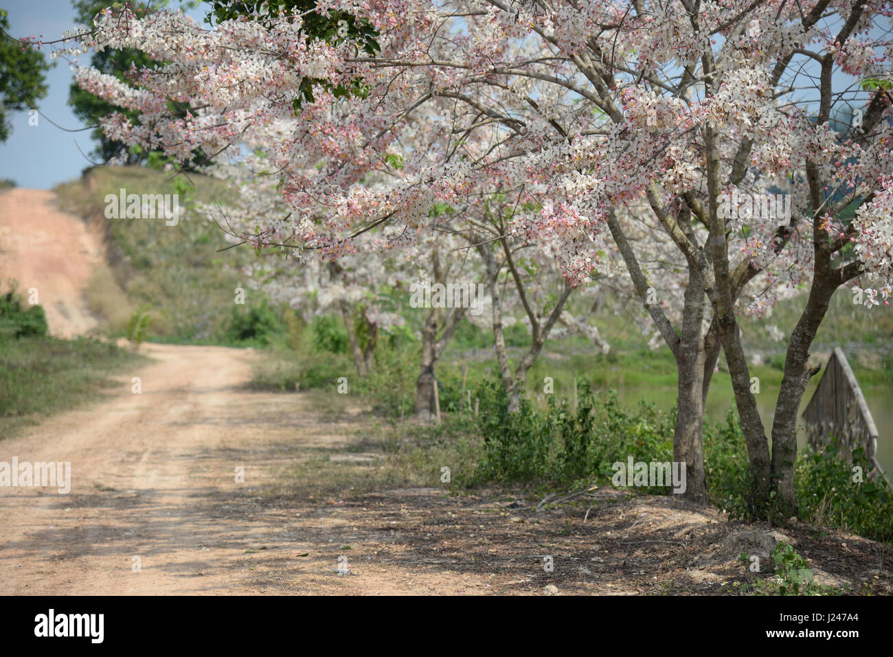 cassia bakeriana pink flower tree tunnel in spring summer season