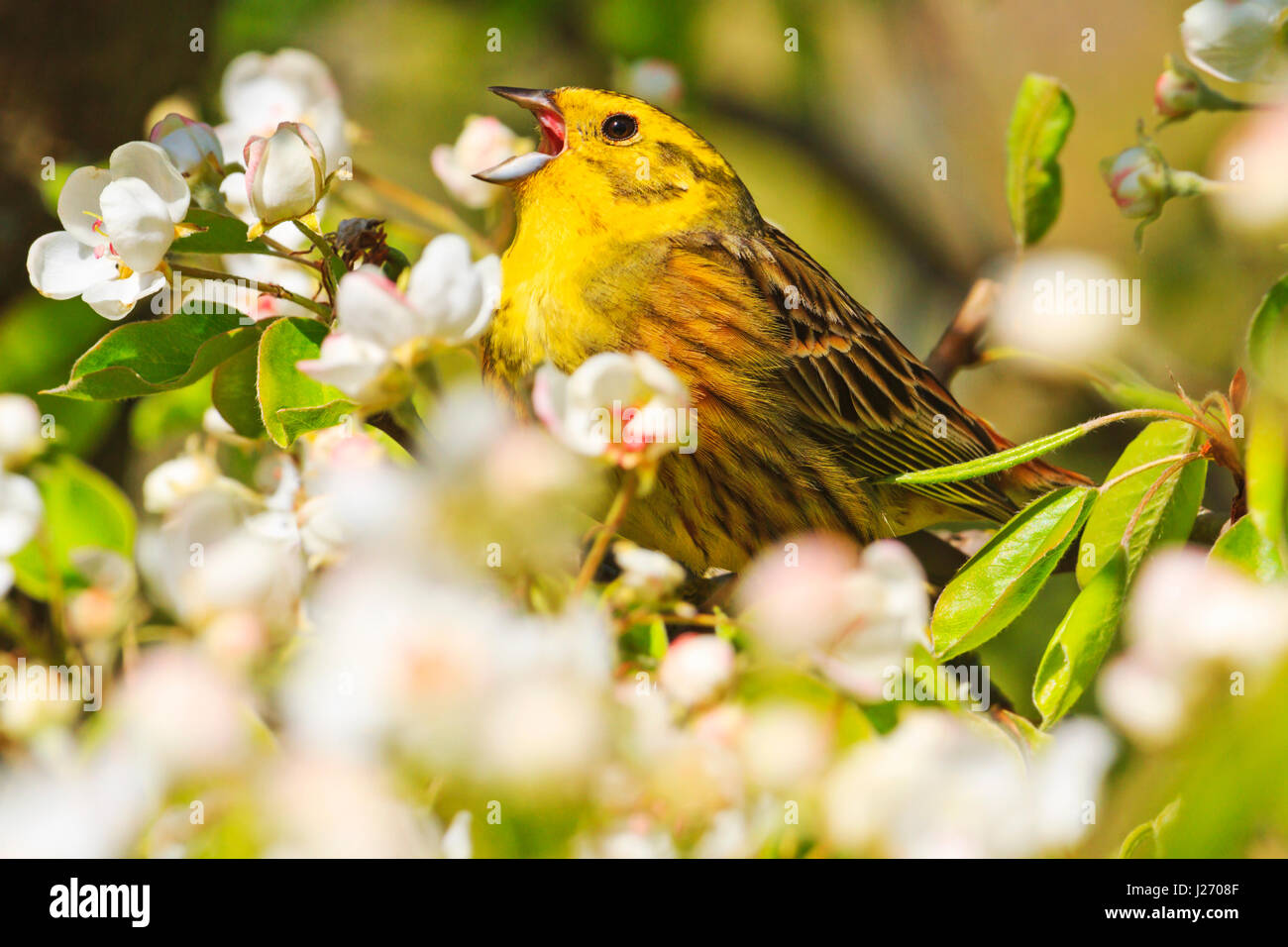 Superior Emberiza Citrinella Singing The Song Of Spring Flowers,forest Birds And  Wildlife