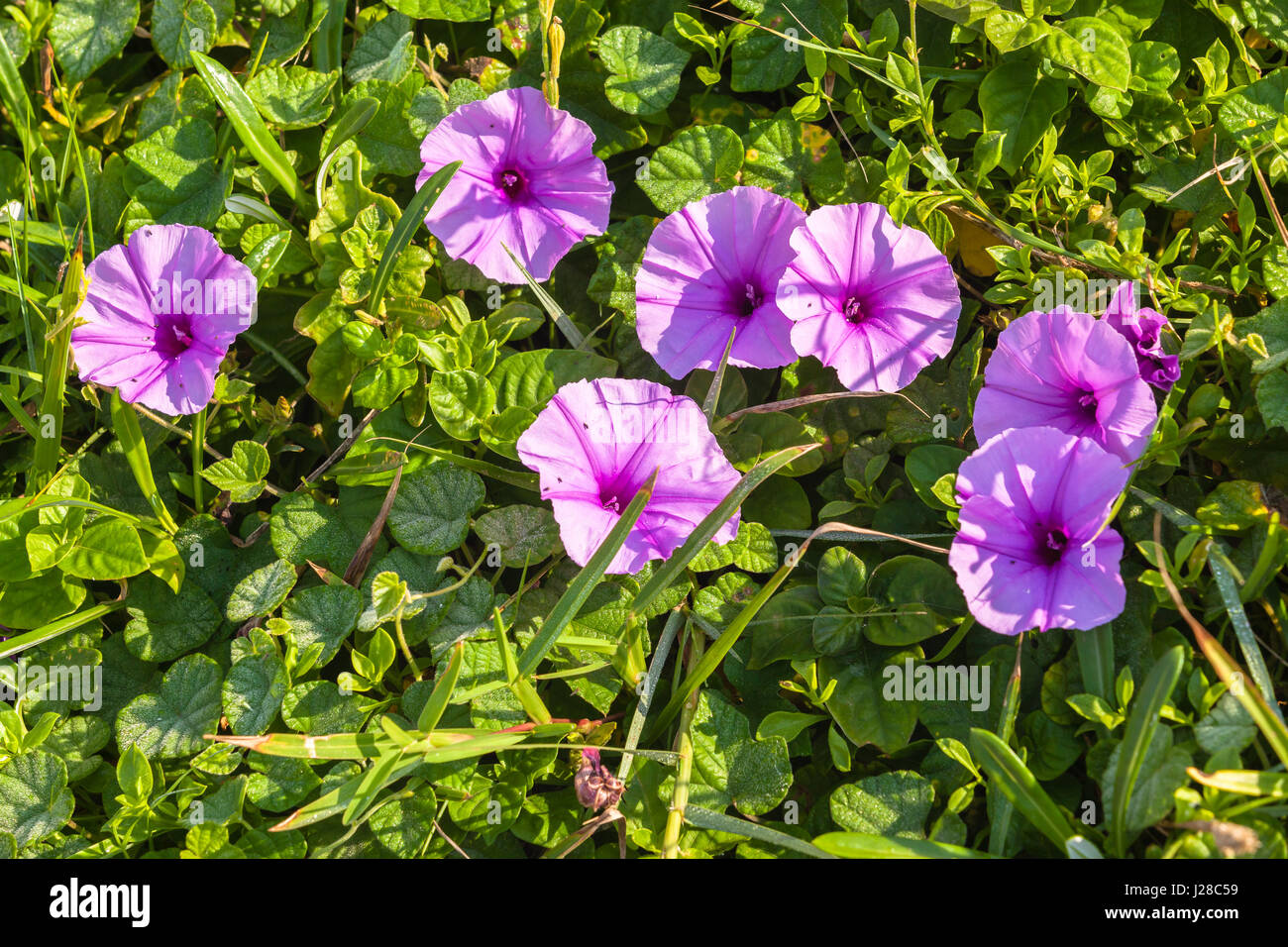 Shrubs with purple flowers pictures - Flora Purple Flowers And Shrubs Closeup Beach Coastline