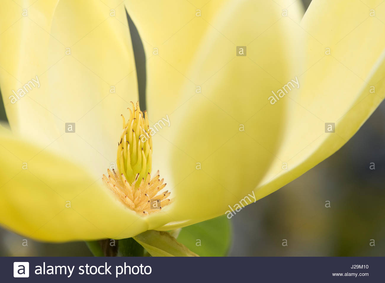 Magnolia daphne flower in april yellow flowering magnolias stock yellow flowering magnolias mightylinksfo