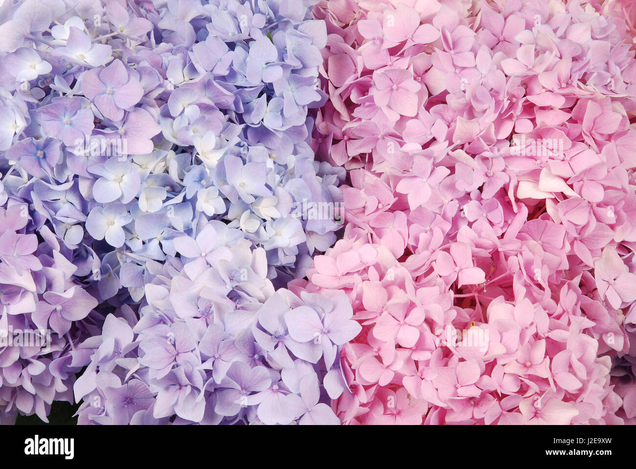 Beautiful Blue And Pink Hydrangeas Flower Background Natural Color