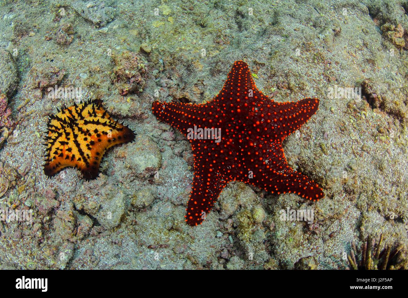 Chocolate Chip Starfish (Nidorelllia armata) and Panamic Cushion ...