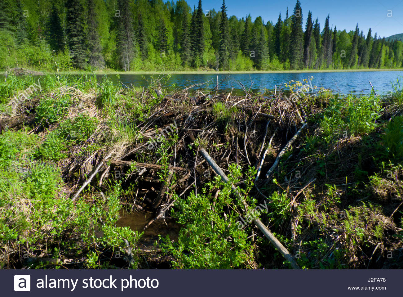 Alaska matanuska susitna county talkeetna - Piles Of Sticks And Mud Of A Beaver Dam Holding Back A Reservoir Of Fresh Water Behind It Talkeetna Mountains Matanuska Susitna Borough Alaska Usa