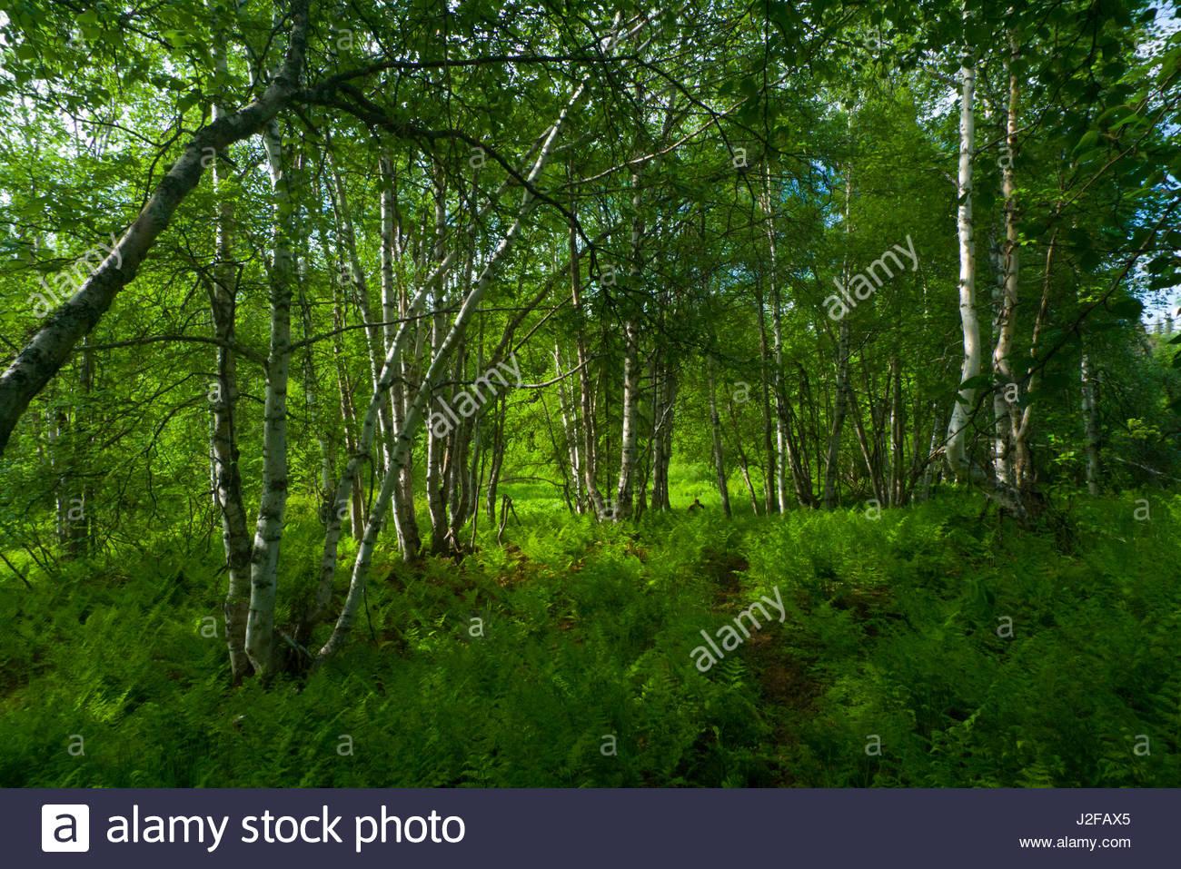 Alaska matanuska susitna county talkeetna - Lush Green Forest With Ferns And Deciduous Paper Birch Trees Talkeetna Mountains Matanuska Susitna Borough Alaska Usa