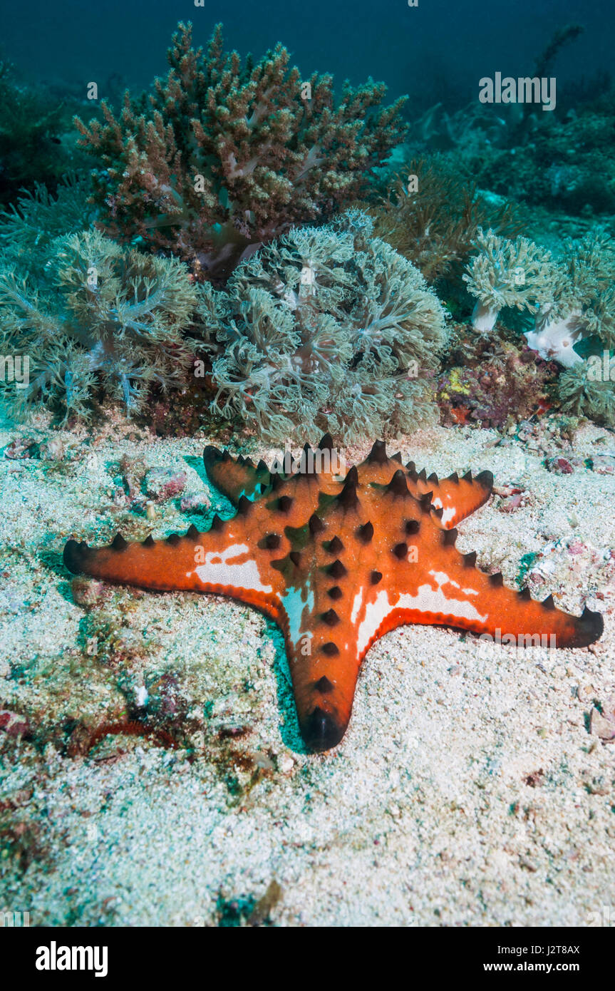 Chocolate chip sea star. Starfish. Underwater in the Galapagos ...