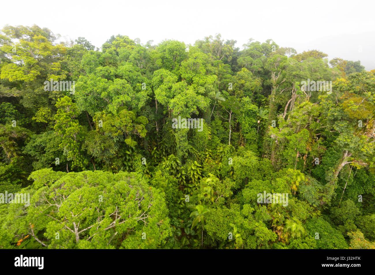 Pristine tropical rainforest canopy near Cairns Far North Queensland FNQ QLD Australia & Pristine tropical rainforest canopy near Cairns Far North Stock ...