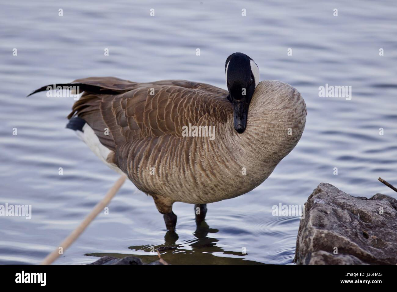 Beautiful background with a cute canada goose stock photo royalty beautiful background with a cute canada goose biocorpaavc Gallery