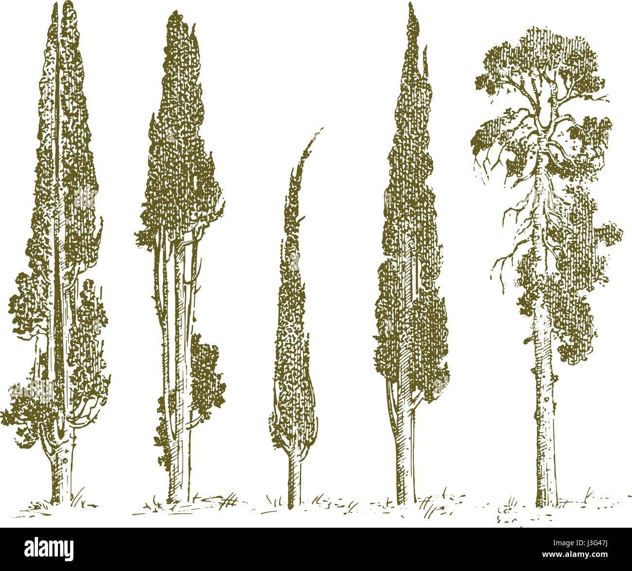 set of hand drawn trees italian cypress and pine isolated ...