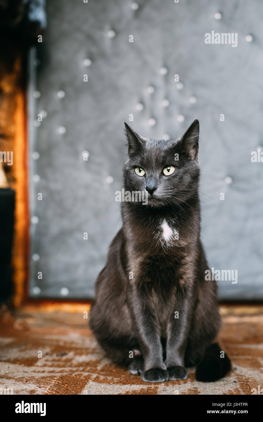 Russian Blue Cat Kitten With Green Eyes Resting Porch An Old
