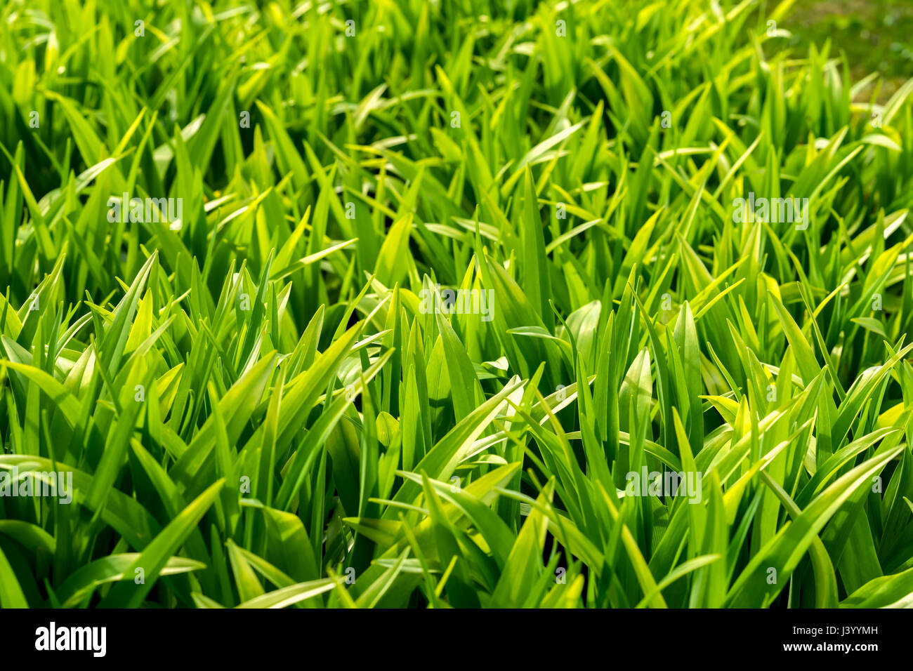 Young spring grass close up light green shade called greenery young spring grass close up light green shade called greenery symbol of new beginnings modern natural wallpaper for all occasions copy space buycottarizona Choice Image