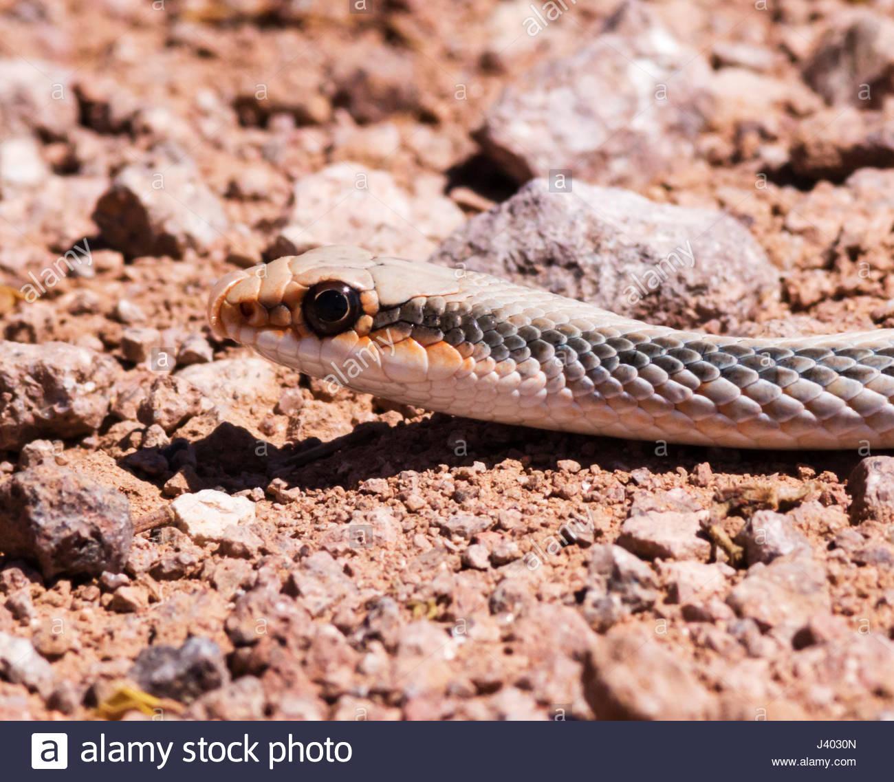 western-patch-nosed-snake-salvadora-hexa